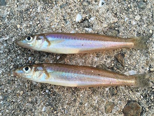 内海町田島・横島でキス釣りをやってみた。(1)