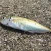 福山市内海町でサビキ釣り。アジが釣れたよ。(8)