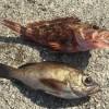 メバルの季節到来!僕の行く釣り場では本メバルとホゴメバル(通称:カサゴ)が釣れるみたい。