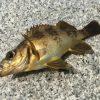 梶ヶ浜海水浴場(下蒲刈島)でライトゲームしたらメバルとアイナメが釣れたよ。