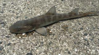 沙美海岸でチョイ投げしたらサメが釣れたよ。