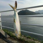 能登原(福山市沼隈町)でジグを投げたらコノシロが釣れたよ。