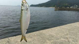 いま福山市内海町田島でサビキ釣りをしたらママカリが釣れます。