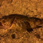 福山市内海町で夜釣りをしてアコウを狙います。
