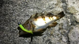 広島瀬戸内のメバリングは黄色系のワームが図抜けて効く。